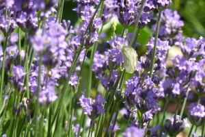 Lavender is good for your complexion